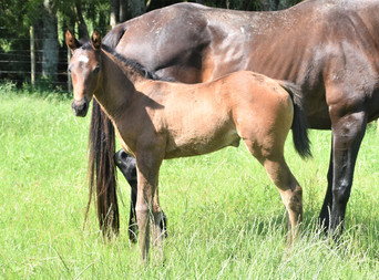 COMPLACENT - LADY HARRIET FILLY