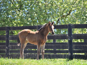 CONTRIBUTER - CAPE MAPPERLEY FILLY
