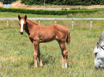 STARSPANGLEDBANNER - GRISE LEIGH FILLY