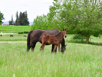 PUCCINI - NAVY BEACH FILLY