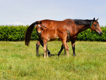CONTRIBUTER - GLAMAZON FILLY