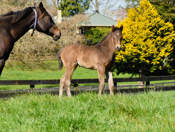 COMPLACENT - SHELLY BEE COLT