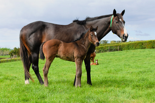 COMPLACENT - DUNOON FILLY