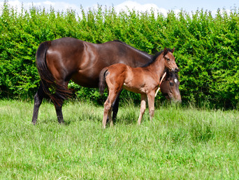 CONTRIBUTER - WEHADADREAM FILLY