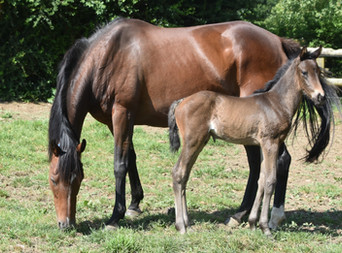 COMPLACENT - HIGH CLARITY COLT