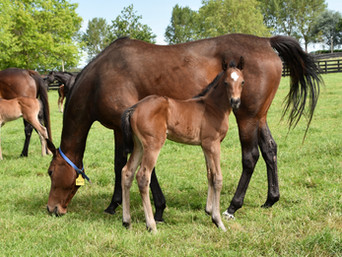MAKFI - SENA FILLY