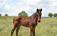 BURGUNDY - GOYESCAS FILLY