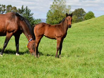 PUCCINI - BELLE OF MAPPERLEY FILLY