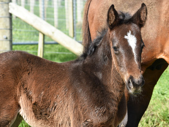 SACRED FALLS - DAZZLING HEIGHTS FILLY