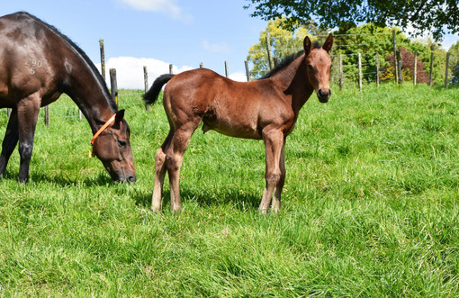 TARZINO - FORREST RED FILLY