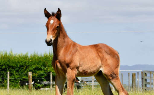 TARZINO - FIRST BLOOM COLT