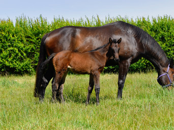 PUCCINI - REGALLY FILLY