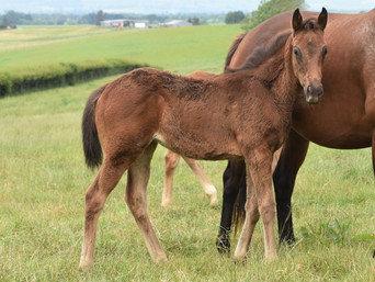 COMPLACENT - SHEZ DAZZLING FILLY