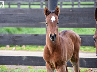 CONTRIBUTER - SHADES OF SILK FILLY