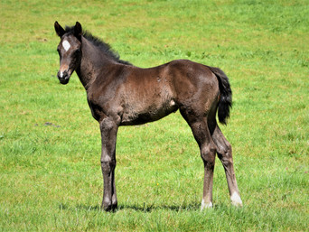 COMPLACENT - SHEZABELLA FILLY