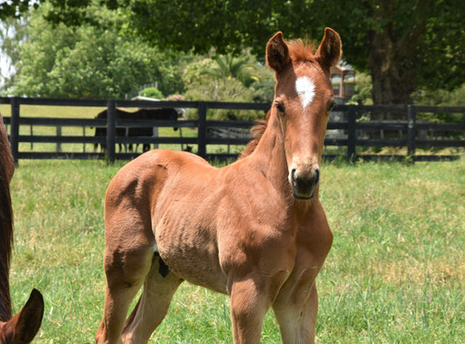 CAPITALIST - FIRST BLOOM COLT