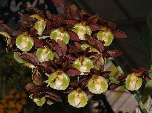 Catasetum Black Knight