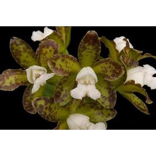 Cattleya guttata cetro de esmeralda