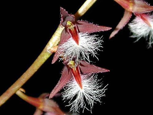 Bulbophillum Miniatum