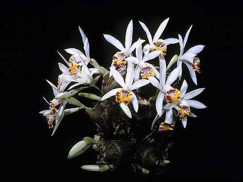 Pleione maculata