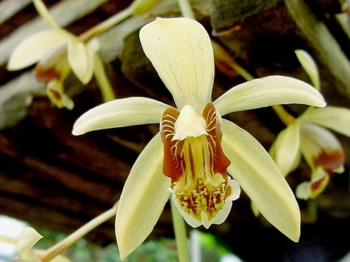 Coelogyne Massageana