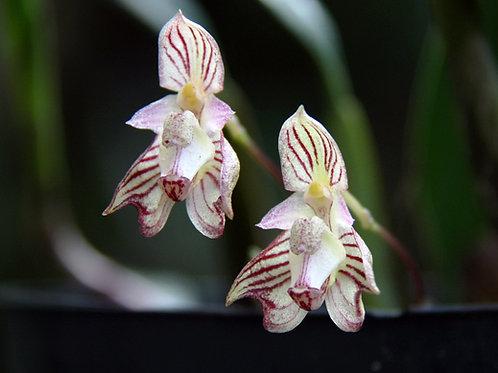Bulbophyllum Ambrosiae