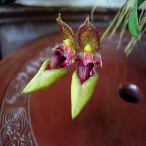 Bulbophyllum Wightii