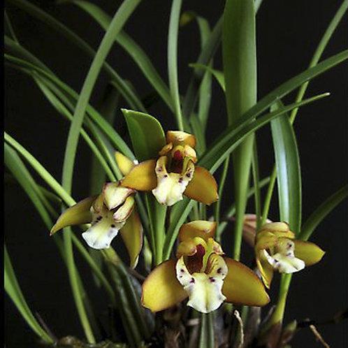 Maxilaria gracilis