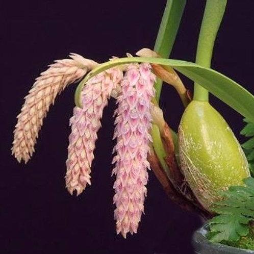 Bulbophillum lilacinum