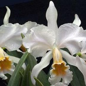 Cattleya percivaliana var. alba