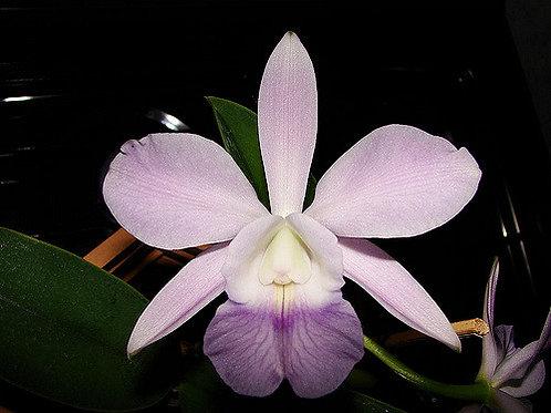 Aloha Case Coerulea