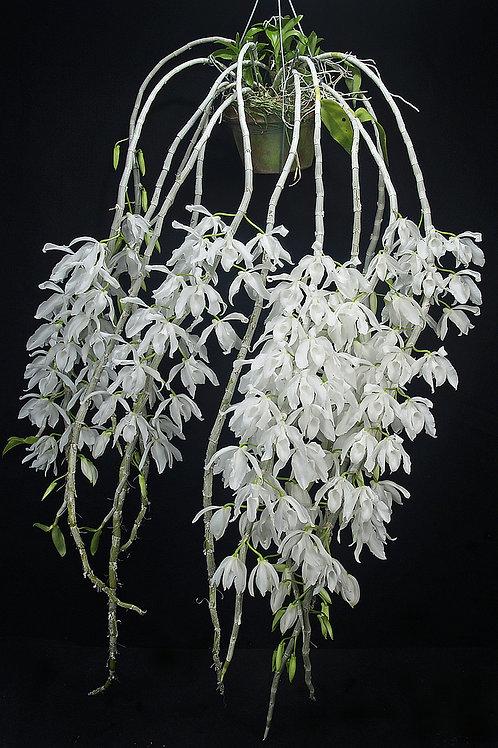 Dendrobium anosmum albo