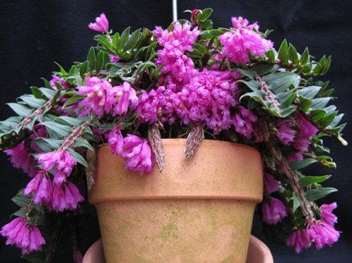 Dendrobium dicheóides
