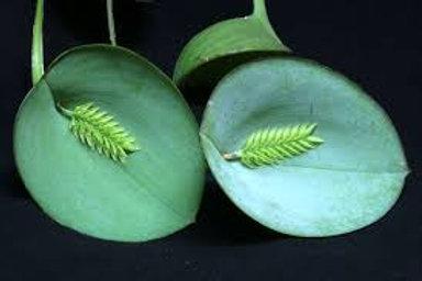Pleurothallis pectinata albo