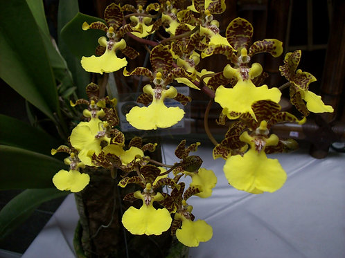 Oncidium wind ward