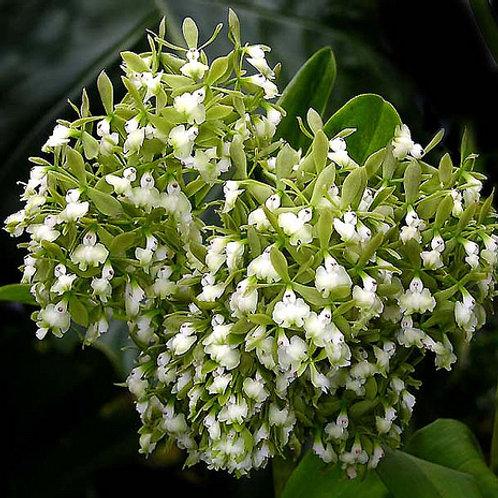 Epidendrum densiflorum