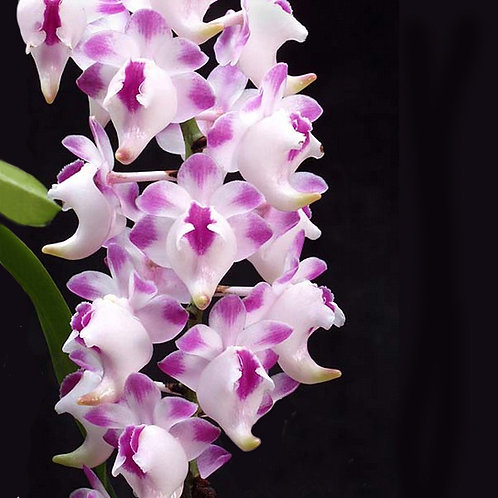 Aerides Lawrenceare