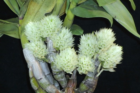 Dendrobium ophyoglossum