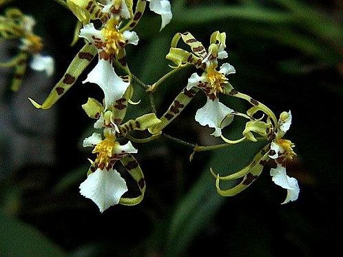 Oncidium phimatochillum