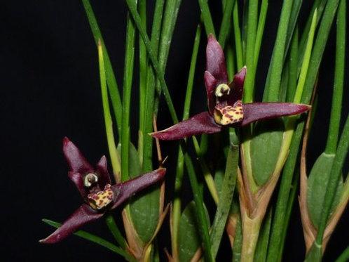 Maxilaria tenuifolia escura ( dark)