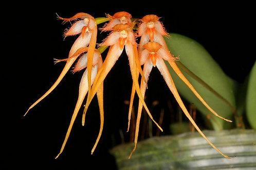 Bulbophyllum Taiwanense