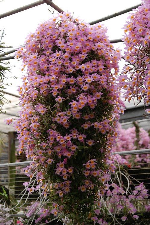 Dendrobium loodigesii