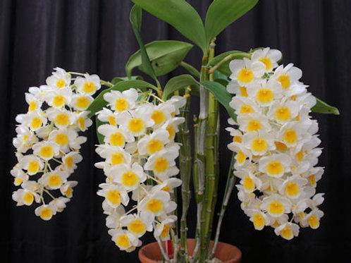 Dendrobium farmeri v. albo