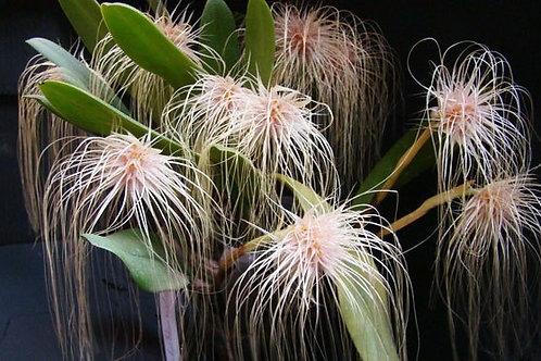 Bulbophillum Medusae