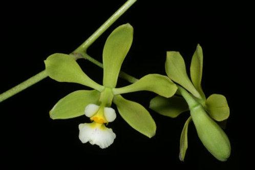 Encyclia alboxantina