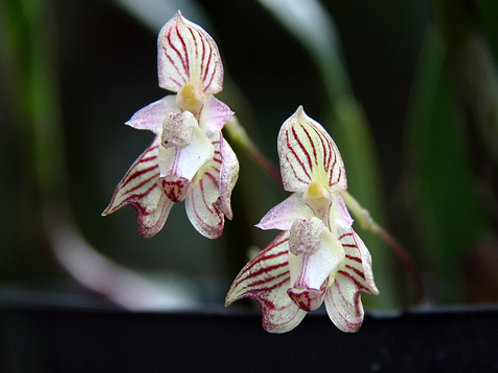 Bulbophyllum Watsonianum