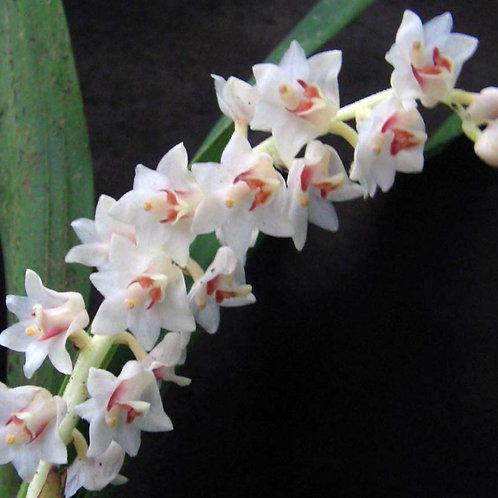 Eria hyancinthoides