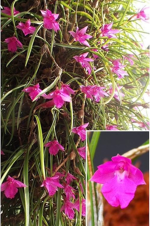 Isabellia puchella pink