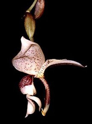 Stanhopea insignis