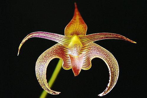 Bulbophyllum Lobby